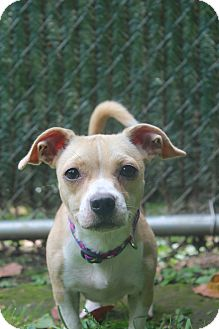 Jack Russell Terrier/Chihuahua Mix Dog for adoption in New Fairfield, Connecticut - Punkie