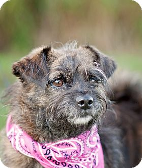 Cairn Terrier Mix Dog for adoption in Portsmouth, Rhode Island - Pepper- local!