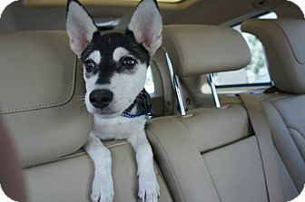 Husky Mix Puppy for adoption in Temple City, California - Bear