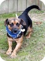 Corgi/Shepherd (Unknown Type) Mix Dog for adoption in Kimberton, Pennsylvania - Campbell