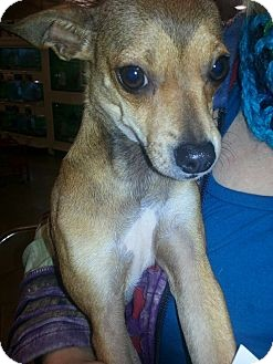 Chihuahua Mix Dog for adoption in 72116, Arkansas - Darcy