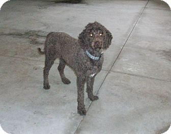 Labradoodle Dog for adoption in Liberty Center, Ohio - Roxie
