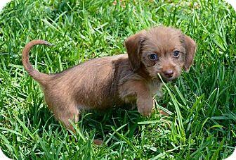 Dachshund Mix Puppy for adoption in Rancho Cucamonga, California - London