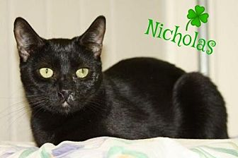 Domestic Shorthair Cat for adoption in Ocean View, New Jersey - Nikolas