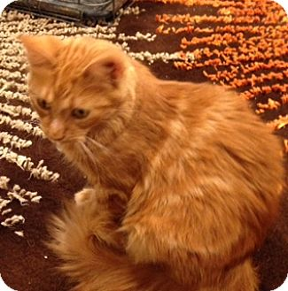 Domestic Longhair Cat for adoption in Cincinnati, Ohio - Jayne Mansfield