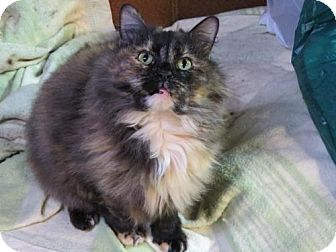 Maine Coon Cat for adoption in Lisbon, Ohio - JoD - ADOPTED!