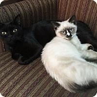 Adopt A Pet :: Venus - N. Billerica, MA