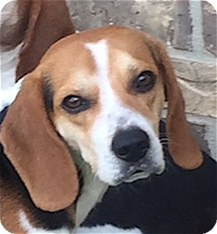 Beagle Dog for adoption in Houston, Texas - Paddy