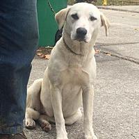 Labrador Retriever Mix Dog for adoption in Slidell, Louisiana - Honey
