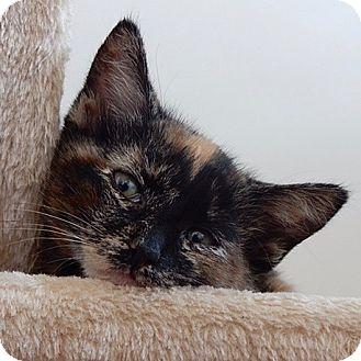 Domestic Shorthair Kitten for adoption in Long Beach, New York - Nala