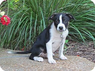 Boston Terrier Mix Puppy for adoption in Bedminster, New Jersey - SIMON
