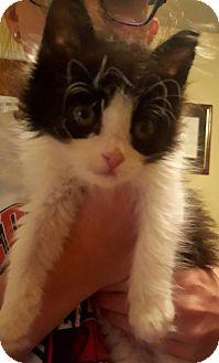 Domestic Mediumhair Kitten for adoption in Exton, Pennsylvania - Ginny