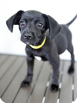 Dachshund Mix Puppy for adoption in Berkeley, California - Hooper