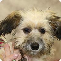 Adopt A Pet :: Phelps - Norwalk, CT