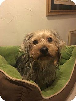 Yorkie, Yorkshire Terrier/Maltese Mix Dog for adoption in Astoria, New York - Melissa: Adoption Pending