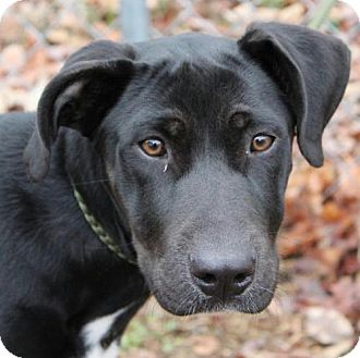 Great Dane Mix Puppy for adoption in Hagerstown, Maryland - Tank