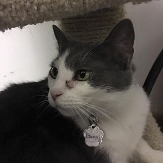 Domestic Shorthair Cat for adoption in Powell, Ohio - Fawna