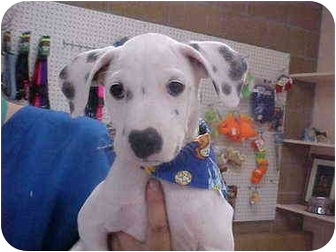 Dalmatian Mix Puppy for adoption in Burnsville, North Carolina - Daniella