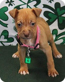 American Staffordshire Terrier Mix Puppy for adoption in Gustine, California - BONNIE
