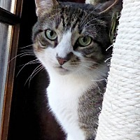 Domestic Shorthair Cat for adoption in Brooklyn, New York - Wonderful Winston, Handsome Young Kitty!