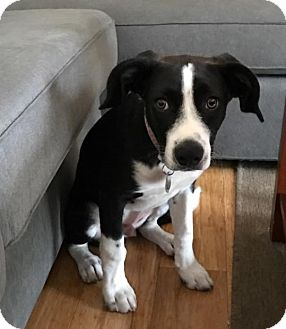 Border Collie/Hound (Unknown Type) Mix Puppy for adoption in Columbus, Ohio - Sonny
