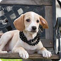 Adopt A Pet :: MELVIN - Inland Empire, CA