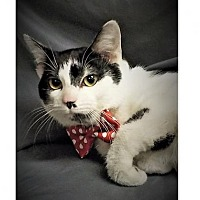 Domestic Shorthair Cat for adoption in Hughesville, Maryland - Rascal Flatts
