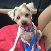 Yorkie, Yorkshire Terrier/Poodle (Toy or Tea Cup) Mix Dog for adoption in Fairfax Station, Virginia - Elvira