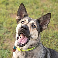 German Shepherd Dog Mix Dog for adoption in Portland, Maine - Sarafina