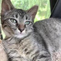 Adopt A Pet :: Claudia - Independence, MO
