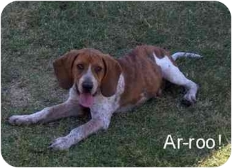 Redtick Coonhound Puppy for adoption in Auburn, California - Jujubee