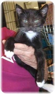 Domestic Shorthair Kitten for adoption in Naples, Florida - Tucker