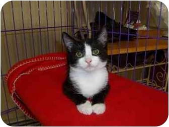 Domestic Shorthair Cat for adoption in Randolph, New Jersey - Mimi