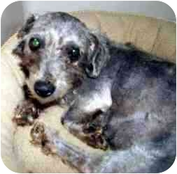 Poodle (Toy or Tea Cup) Mix Dog for adoption in Gun Barrel, Texas - Taffy