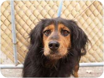 Spaniel (Unknown Type) Mix Dog for adoption in El Cajon, California - Lady