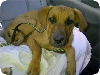 Rhodesian Ridgeback/Labrador Retriever Mix Puppy for adoption in Scottsdale, Arizona - Jessa