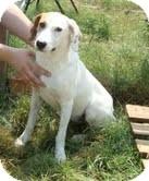 Pointer Mix Dog for adoption in Portland, Maine - Julie