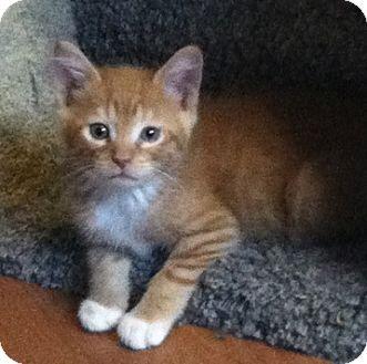 Domestic Shorthair Kitten for adoption in Tampa, Florida - Harrison