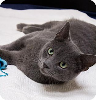Russian Blue Cat for adoption in Chicago, Illinois - Gunner