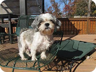 Shih Tzu Mix Dog for adoption in Oakland, Arkansas - Munch