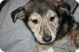 Shepherd (Unknown Type) Mix Puppy for adoption in Morgantown, West Virginia - Jack