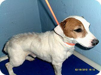 Jack Russell Terrier Dog for adoption in Dundas, Virginia - Tyler