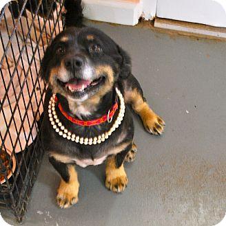 Sheltie, Shetland Sheepdog/Corgi Mix Dog for adoption in Chattanooga, Tennessee - Lucy