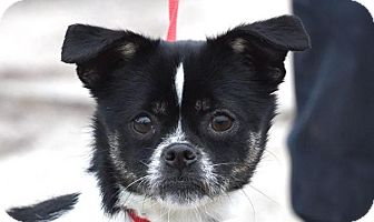 Pug/Terrier (Unknown Type, Small) Mix Dog for adoption in New Haven, Connecticut - COOKIE