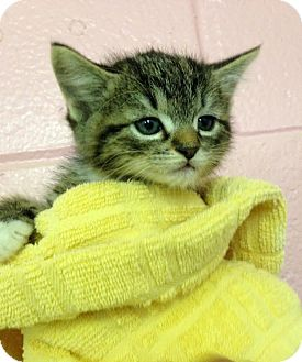 Domestic Shorthair Kitten for adoption in Colonial Heights, Virginia - Taterbug
