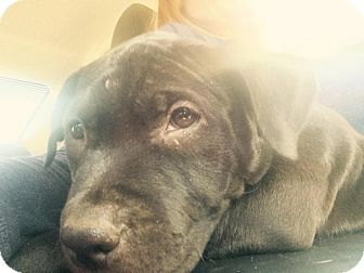 Pit Bull Terrier/Labrador Retriever Mix Puppy for adoption in Mt. Clemens, Michigan - Kessel