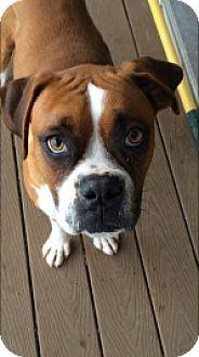 Boxer Dog for adoption in Reno, Nevada - Watson