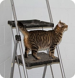 Domestic Shorthair Cat for adoption in Sylvania, Georgia - Charlotte