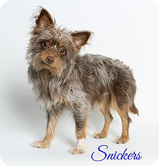 Yorkie, Yorkshire Terrier Mix Dog for adoption in Laplace, Louisiana - Snickers
