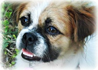 Shih Tzu/Terrier (Unknown Type, Small) Mix Dog for adoption in Wheaton, Illinois - GEORGE